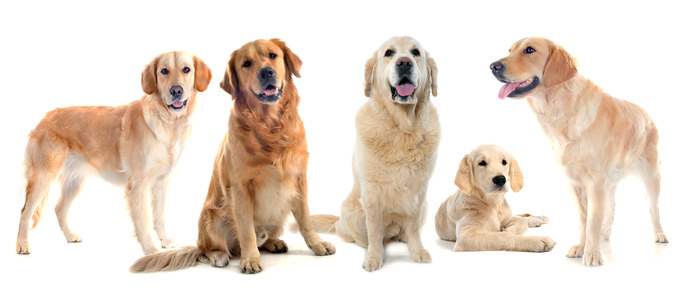 Golden Retriever Dog Names Naming Dogs