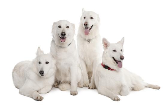 White Dog Names Naming Dogs